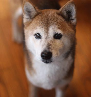 DC Shiba Inu Rescue – Washington DC rescue that specializes